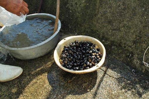 """Shijimi"" clam caught around the island"