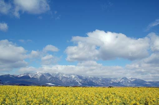 Rape blossom field and snow-capped Mt. Hira