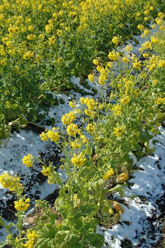 Rape blossoms on a snow-covered field